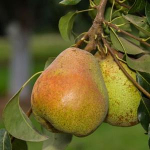 LE Cooke Comice Pear