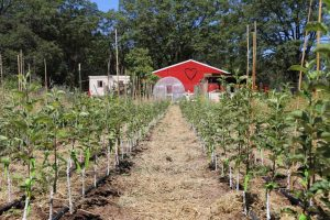 Grafted apple trees at Felix Gillet Institute